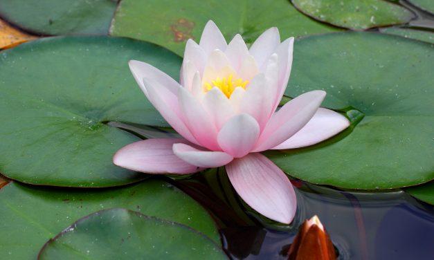 Que signifie le tatouage fleur de lotus ?