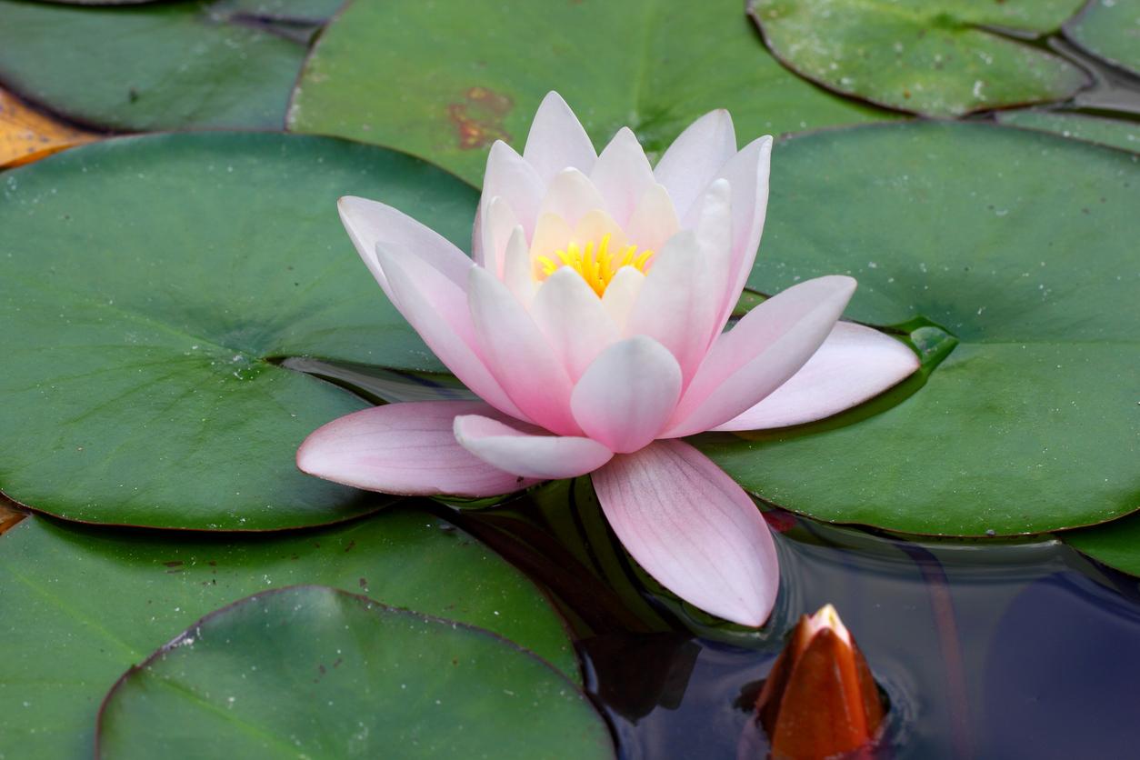 Que signifie le tatouage fleur de lotus